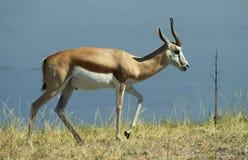 2 αφρικανικά ζώα Στοκ φωτογραφία με δικαίωμα ελεύθερης χρήσης