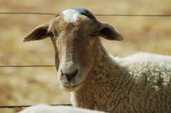 2 αφρικανικά πρόβατα στοκ εικόνα με δικαίωμα ελεύθερης χρήσης