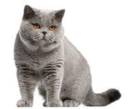 2 βρετανικά έτη shorthair γατών παλα&iot Στοκ Εικόνες