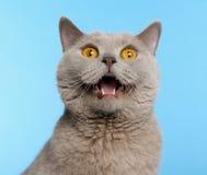 2 βρετανικά έτη shorthair γατών παλα&iot Στοκ Εικόνα