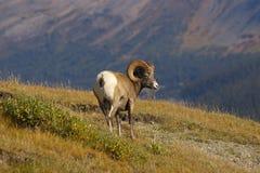 2 δύσκολα πρόβατα βουνών Στοκ φωτογραφίες με δικαίωμα ελεύθερης χρήσης