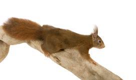 2 ευρασιατικά κόκκινα vulgaris έτη σκιούρων sciurus Στοκ Φωτογραφίες