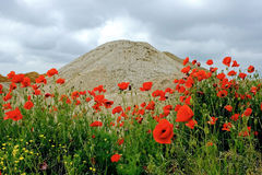 2 λουλούδια ερήμων Στοκ Εικόνες