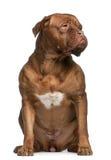 2 μισά παλαιά έτη του Μπορντώ de dog Στοκ εικόνες με δικαίωμα ελεύθερης χρήσης