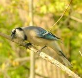 2 μπλε jay Στοκ εικόνα με δικαίωμα ελεύθερης χρήσης