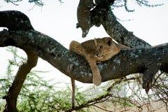 2 νεολαίες δέντρων λιοντ&alpha Στοκ εικόνες με δικαίωμα ελεύθερης χρήσης