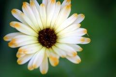 2 πέταλα λουλουδιών Στοκ Εικόνες