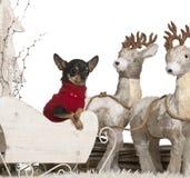 2 παλαιά έτη ελκήθρων Χριστουγέννων chihuahua Στοκ εικόνα με δικαίωμα ελεύθερης χρήσης