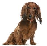 2 παλαιά έτη συνεδρίασης dachshund Στοκ Εικόνες