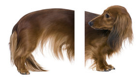 2 παλαιά έτη dachshund Στοκ Φωτογραφίες