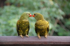 2 παπαγάλοι που εξετάζουν ο ένας τον άλλον Στοκ Εικόνες