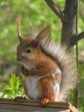 2 πατημένος πόδια σκίουρος στοκ εικόνες με δικαίωμα ελεύθερης χρήσης