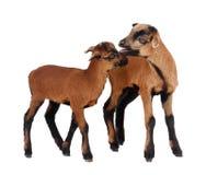 2 πρόβατα του Καμερούν Στοκ Εικόνες