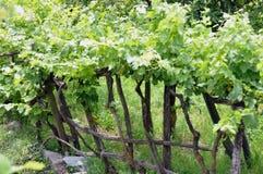 2 πρώιμο καλοκαίρι wineyard Στοκ Φωτογραφίες
