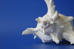 2 το θαλασσινό κοχύλι μο&upsilon Στοκ Εικόνες
