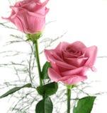 2 τριαντάφυλλα δώρων Στοκ Φωτογραφίες