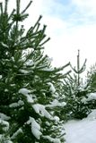 2 χριστουγεννιάτικα δέντρα Στοκ Εικόνα