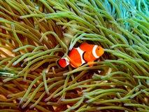 2 ψάρια κλόουν στοκ εικόνα