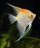 2 ψάρια scalare Στοκ Εικόνες