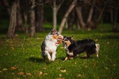 2 австралийских чабана играют совместно Стоковые Фото