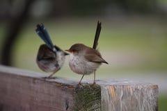 2 австралийских Fairy Wrens Стоковое Изображение