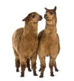 2 альпаки смотря один другого Стоковые Фото