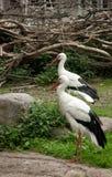 2 белых аиста Стоковое Изображение