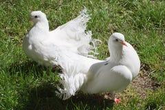 2 белых голубя Стоковая Фотография RF
