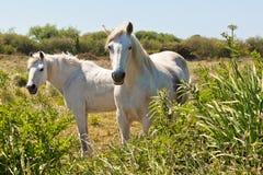 2 белых лошади в зеленом поле Стоковые Изображения