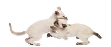 2 бой игры котенка Oriental Shorthair Стоковое Фото
