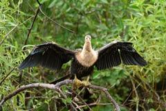 2 болотистой низменности птицы Стоковая Фотография