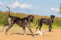 2 больших собаки и одна маленькой собака Стоковое фото RF