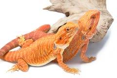 2 бородатый дракон, изолят Стоковые Изображения