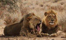 2 брать льва в Kgaligadi 2 Стоковое Изображение RF