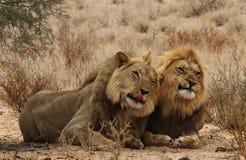 2 брать льва в Kgaligadi 4 Стоковые Изображения