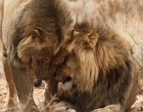 2 брать льва в Kgaligadi 7 Стоковое Фото