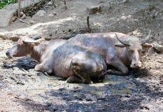 2 буйвола ослабляя в лужице Стоковые Фото
