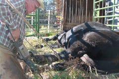 2 быка врачуя копыто Стоковая Фотография