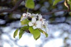 2 вала цветков яблока одичалого Стоковое Фото
