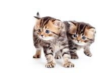 2 великобританских котят на белизне Стоковые Фото