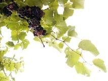 2 виноградины стоковые фото