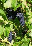2 виноградника стоковая фотография rf
