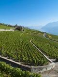 2 виноградника lavaux стоковая фотография