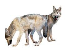 2 волка над белизной Стоковое Изображение