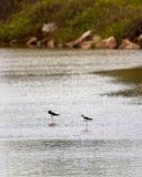 2 гаваиских ходулочника Стоковое Фото