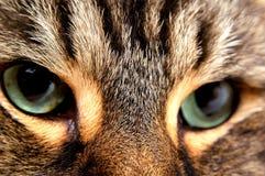 2 глаза кота Стоковые Фотографии RF