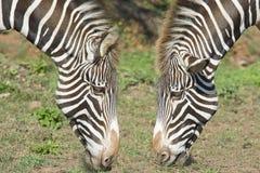 2 головки зебры. Стоковые Изображения