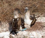 2 голубых footed морские птицы и цыпленока олуха Стоковое Фото