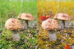 2 гриба березы. Стоковые Фотографии RF