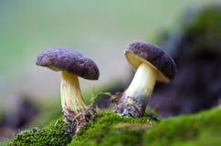 2 гриба в мхе Стоковое Изображение RF